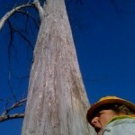 eucalyptus-to-pulpwood-05