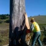 eucalyptus-to-pulpwood-06