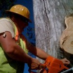 eucalyptus-to-pulpwood-07