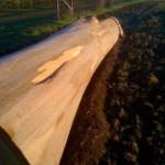 eucalyptus-to-pulpwood-09