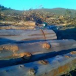 eucalyptus-to-pulpwood-10
