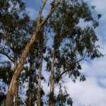 eucalyptus-to-pulpwood-13