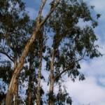 eucalyptus-to-pulpwood-13